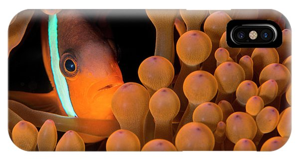 Amphiprion Melanopus iPhone Case - Dusky Anemonefish by Louise Murray