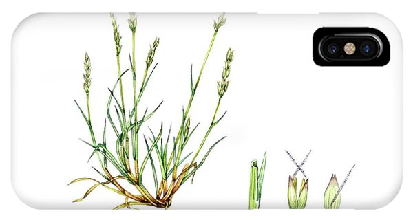 Monocotyledon iPhone Case - Early Hair-grass (aira Praecox) by Lizzie Harper/science Photo Library