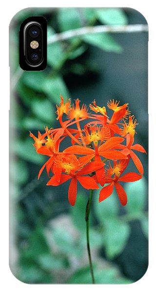 Epidendrum Ibaguense. Phone Case by Science Photo Library