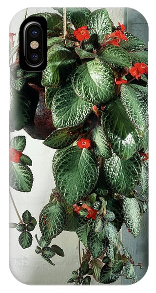 Violet Flame iPhone Case - Episcia Cupriata 'silver Queen' by The Picture Store/science Photo Library