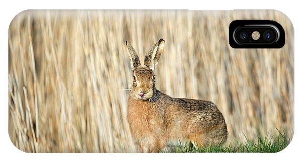 European Hare IPhone Case