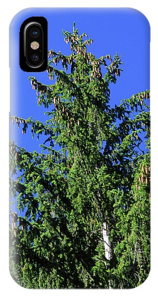 Spruce iPhone Case - European Spruce (picea Excelsa) by Bruno Petriglia/science Photo Library