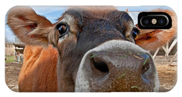 Face Of Young Jersey Cow Heifer IPhone Case