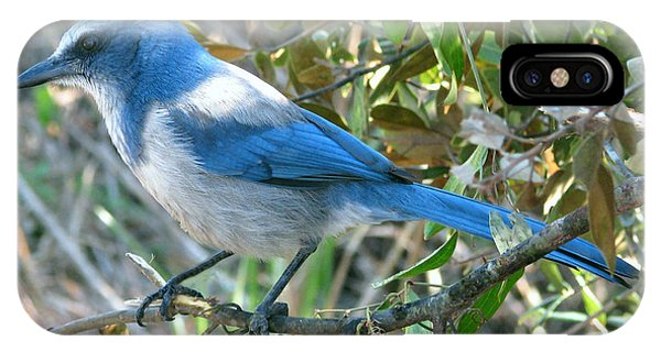 Florida Scrub Jay IPhone Case