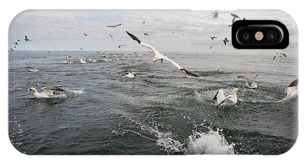 Northern Scotland iPhone Case - Gannets And Gulls Fishing by Lewis Houghton/science Photo Library