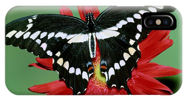 Pterygota iPhone Case - Giant Swallowtail Butterfly by Millard Sharp