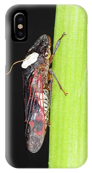 Sharpshooter iPhone Case - Glassy-winged Sharpshooter Research by Stephen Ausmus/us Department Of Agriculture