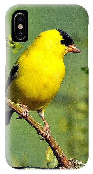Goldfinch 328 IPhone Case