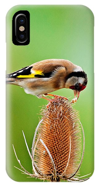 Goldfinch Feeding On Teasel Comb. IPhone Case