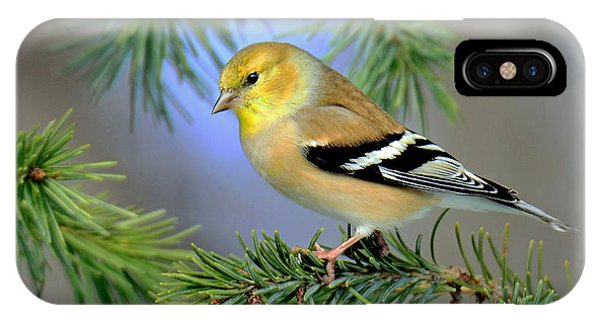 Goldfinch In A Fir Tree IPhone Case