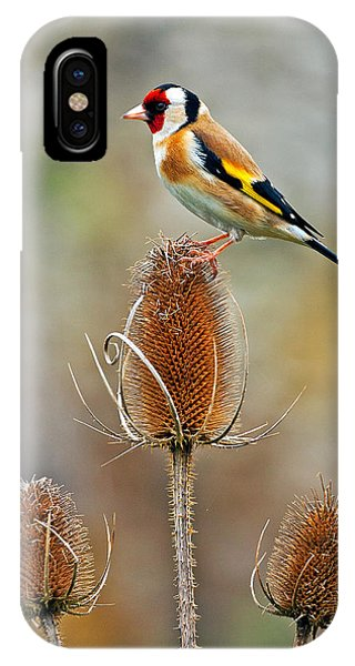 Goldfinch On Teasel Head. IPhone Case