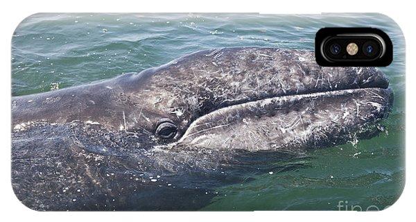 Gray / Grey Whale Eschrichtius Robustus IPhone Case