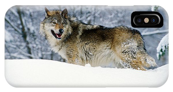 Wolf iPhone Case - Gray Wolf In Snow, Montana, Usa by Panoramic Images