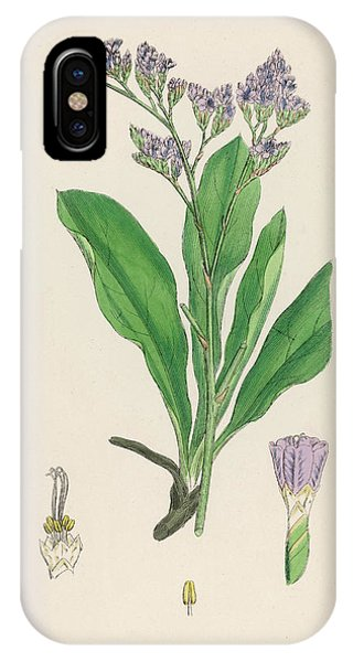 Lavender iPhone Case - Great Sea Lavender by Mary Evans Picture Library