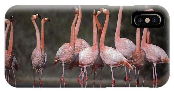 Jervis iPhone Case - Greater Flamingo Group Courtship Dance by Tui De Roy