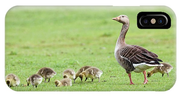 Gosling iPhone Case - Greylag Goose And Goslings by John Devries/science Photo Library