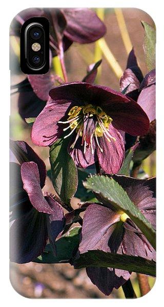 Cultivar iPhone Case - Helleborus 'anna's Red' Flower by Adrian Thomas