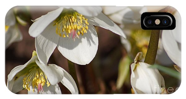 Helleborus Niger - Christrose IPhone Case