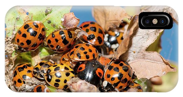 Coleoptera iPhone Case - Hibernating Harlequin Ladybirds by Dr. John Brackenbury