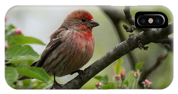 House Finch In Apple Tree IPhone Case