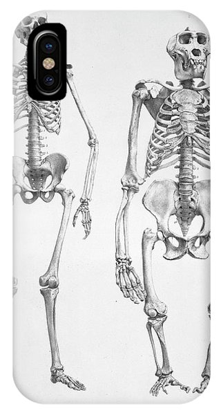 Human And Gorilla Skeletons Phone Case by Natural History Museum, London/science Photo Library