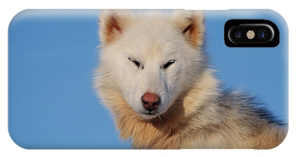 Sled Dog iPhone Case - Husky Dog by Simon Fraser/science Photo Library
