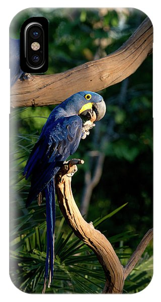Macaw iPhone Case - Hyacinth Macaws Gather And Eat Nuts by Jan and Stoney Edwards