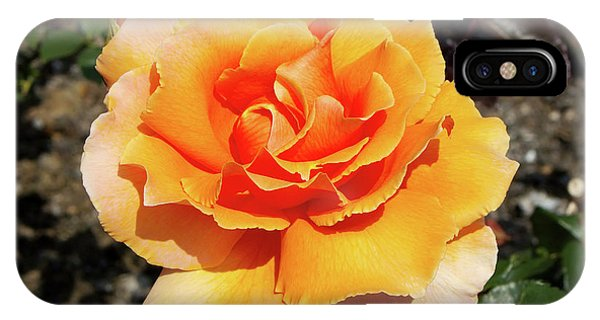 Hybrid iPhone Case - Hybrid Tea Rose (rosa 'just Joey') by Neil Joy/science Photo Library