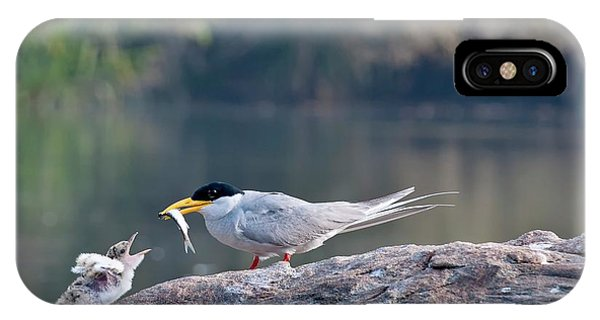 Behaviour iPhone Case - Indian River Tern Feeding Chick by K Jayaram