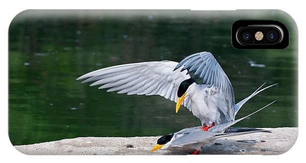 Behaviour iPhone Case - Indian River Terns Mating by K Jayaram
