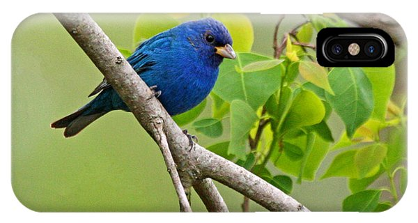 Blue Indigo Bunting Bird  IPhone Case