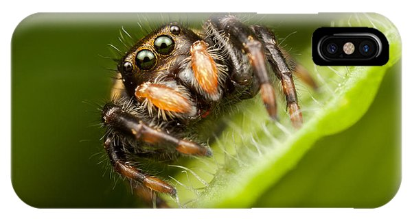 Jumping Spider Phidippus Clarus I IPhone Case