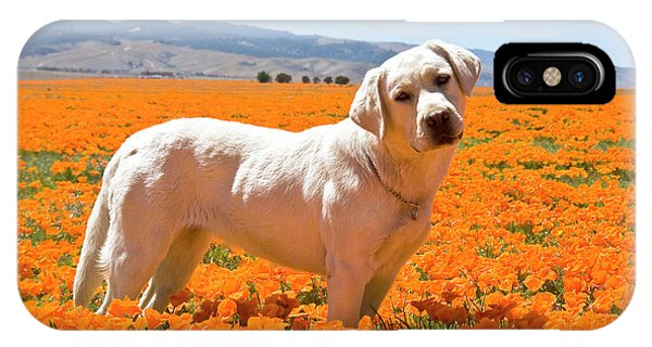 Yellow Lab iPhone Case - Labrador Retriever Standing In A Field by Zandria Muench Beraldo