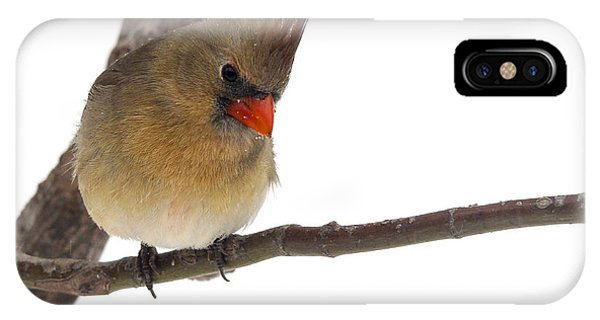 Lady Cardinal Phone Case by Jill Bell