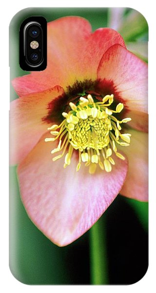 Lenten Rose (helleborus Orientalis) Phone Case by Stephen Harley-sloman/science Photo Library