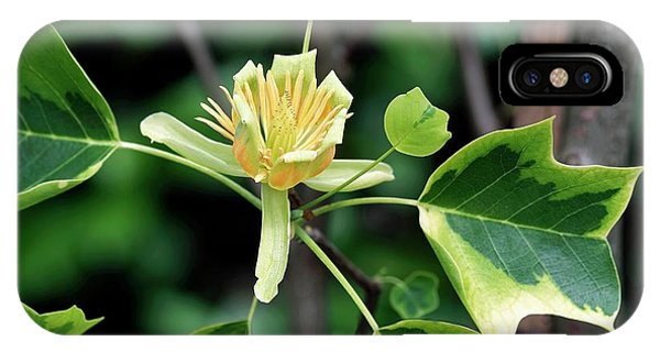 Deciduous iPhone Case - Liriodendron Tulipifera 'aureomarginatum' by Brian Gadsby/science Photo Library