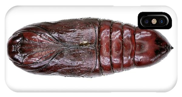 Lobster Moth Pupa IPhone Case