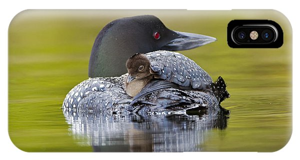 Loon Chick Resting On Parents Back IPhone Case
