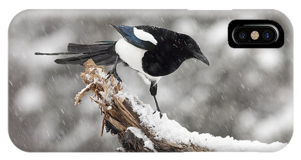 Magpie Out On A Branch IPhone Case