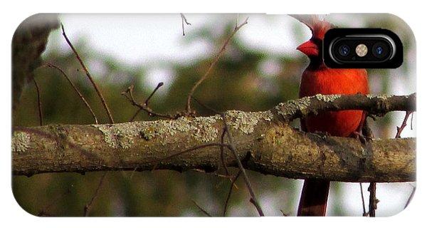 Majestic Cardinal IPhone Case