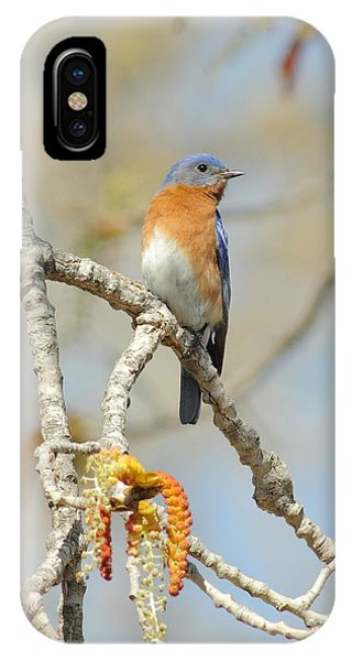 Male Bluebird In Budding Tree IPhone Case