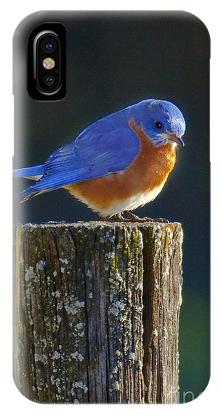 Male Bluebird IPhone Case