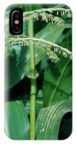 Male Flowers Of The Maize Plant Phone Case by Dr Jeremy Burgess/science Photo Library
