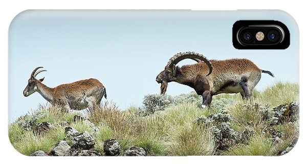 Behaviour iPhone Case - Male Wahlia Ibex Checking A Females Odour by Tony Camacho