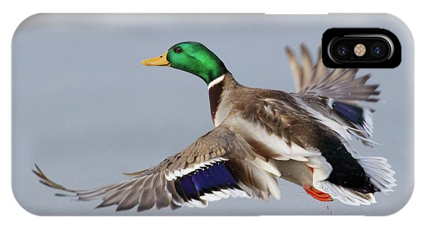Mallard Drake Taking Flight Phone Case by Ken Archer