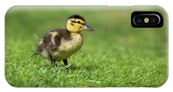 Anas Platyrhynchos iPhone Case - Mallard Duckling by Simon Booth/science Photo Library