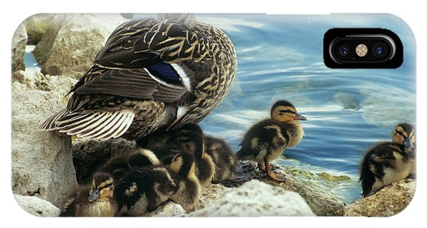 Anas Platyrhynchos iPhone Case - Mallard Ducklings by Sally Mccrae Kuyper/science Photo Library