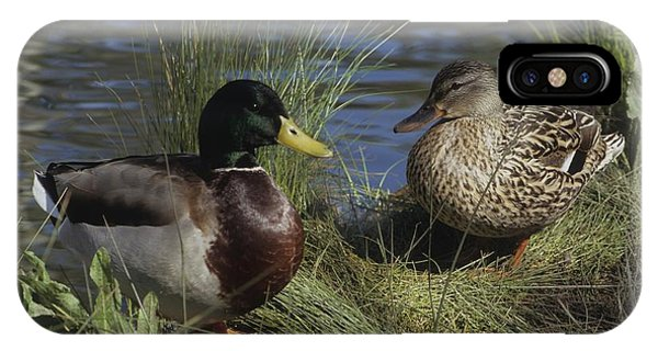 Mallard Duck Pair IPhone Case