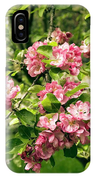 Cultivar iPhone Case - Malus X Micromalus Flowers by Adrian Thomas
