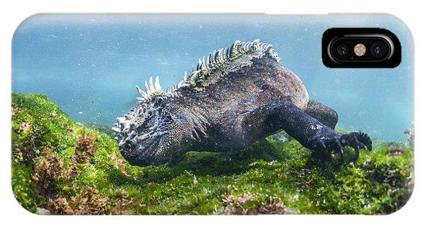 Marine Iguana Feeding On Algae Punta IPhone Case